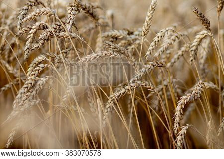 Gold Wheat Field. Beautiful Nature Sunset Landscape. Background Of Ripening Ears Of Meadow Wheat Fie