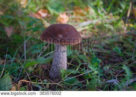 Edible Mushroom Leccinum Aurantiacum With Orange Caps.