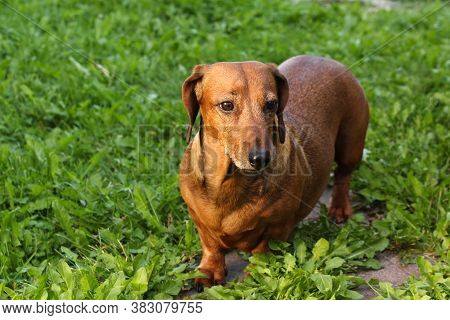 The Smooth-haired Dachshund Sits On The Grass With A Frightened Expression On Its Muzzle, Sniffing O