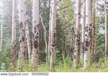 Aspen Trees In Colorado Rocky Mountains On A Summer Day