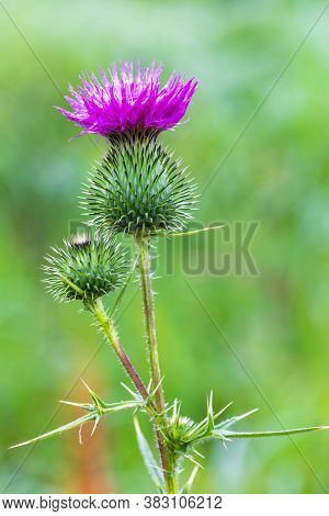 Spear Thistle (cirsium Vulgare), The Spear Thistle, Bull Thistle, Or Common Thistle, Blooming Outdoo