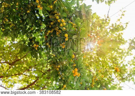 Bottom View Of Branches Of Cherry Plum Tree With Harvest Of Ripe Yellow Fruits In Backlight With The