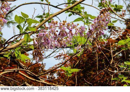 Lilac Blooming Paulownia Tomentosa Tree (princess Tree, Empress Tree, Or Foxglove-tree)