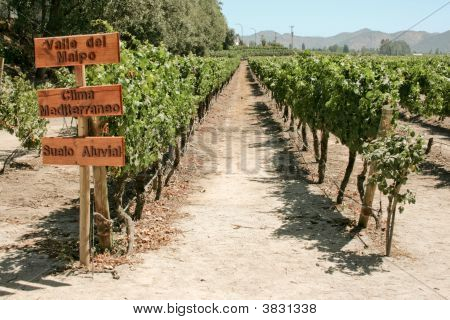 Vineyard Of Chile