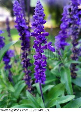 Purple Salvia Officinalis. Garden Sage Beautiful Flowers.