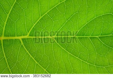 Green Leaves Background. Leaf Texture, Nature Background