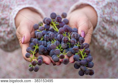Isabella Grapes In Female Hands. Used In Winemaking