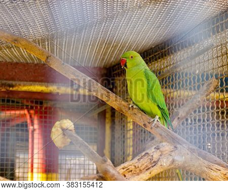 Acre, Israel, January 3, 2016 : Male Of The Large Green Parrot - Eclectus Roratus - Is Sitting On A