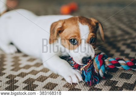 Adorable Puppy Jack Russell Terrier On The Capet Playing With Toy.  Portrait Of A Little Dog.