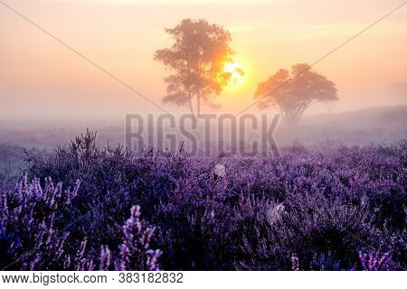 Blooming Heather In The Netherlands, Sunny Foggy Sunrise Over The Pink Purple Hills At Westerheid Pa