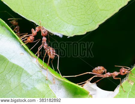 Ants Teamwork Making Their Nests In The Leafs. . Work Ants Are Making Their Nest.