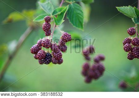 Blackberry Bush In The Garden. Blackberry On A Leaf Background. Harvest Blackberry.