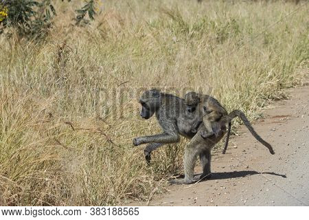 Chacma Baboon Mother Foraging And Carrying Her Young Infant On Her Back In Kruger National Park, Sou