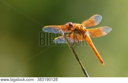 Close Up Of An Orange Dragonfly Sitting On A Reed.