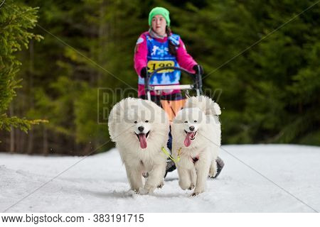Verkhoshizhemye, Russia - 03.07.2020 - Winter Sled Dog Racing. Koltco Fortuny - Dog Sport Sled Team
