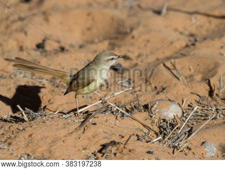 Black-chested Prinia (prinia Flavicans) Perched On A Small Stick On The Ground In The Kalahari, Sout