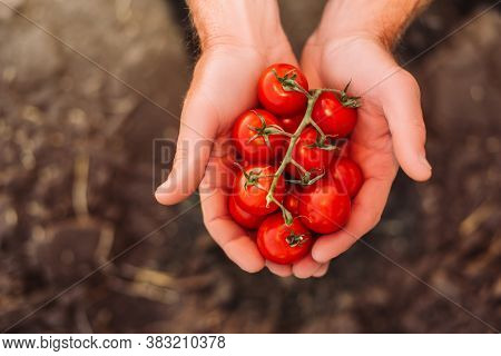 Top View Of Rancher Holding Branch Of Red, Ripe Cherry Tomatoes In Cupped Hands