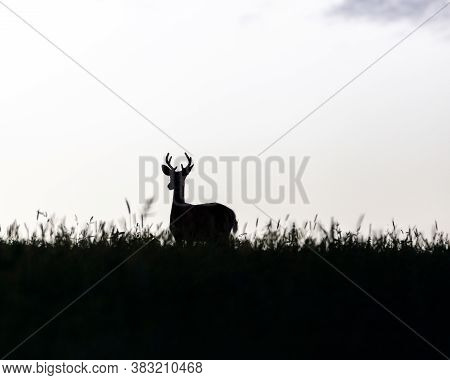 Silhouette Of A Young Whitetail Buck (odocoileus Virginianus) In A Grass Field, Selective Focus