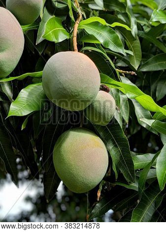 Close-up Of Sun Kissed Hayden Mangos Of Different Sizes Hang From Tree Full Of Green Leafs On Oahu,