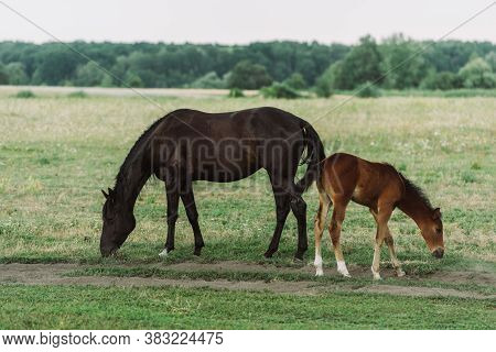 Side View Of Brown Horse With Colt Eating Green Grass While Pasturing On Field