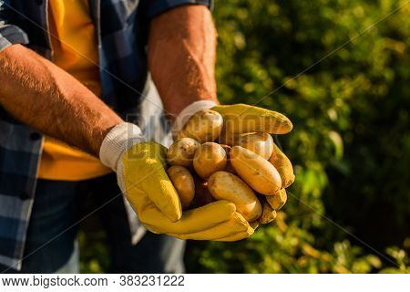 Cropped View Of Rancher In Work Gloves Holding Fresh Potatoes In Cupped Hands