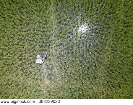 Aerial View Or Bird Eye View Of Farmer Spraying Fertilizer In Rice Fields