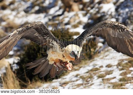 The Bearded Vulture (gypaetus Barbatus), Also Known As The Lammergeier Or Ossifrage Flying With A La