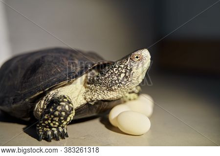 Pond Turtle And Eggs. European Swamp Tortoise