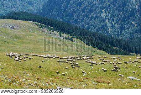 The Flock Of Sheep Graze The Green Grass On The Mountain Ridges. Sheep Farm