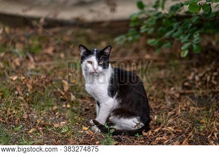 A Spotted Cat With Black And White Spots Sits In The Garden. Portrait Of A Pet. High Quality Photo