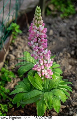 Blooming Flowers Of Lupine In Garden - Lupinus Polyphyllus