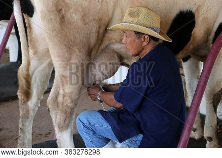 Muak Lek, Saraburi Thailand - Dec 27, 2019 : The Man Milking Cows From Cow's Breast To Aluminum Cans