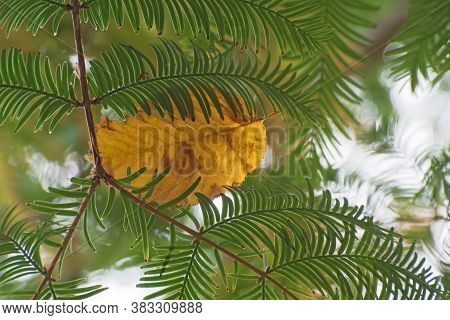 The Yellow Withered Aspen Leaf Lies On The Green Branches Of Sumach On Blurred Greenery Floral Backg