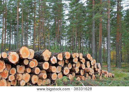 Logs In Pine Forest In Autumn