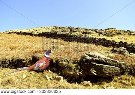 Pheasant In Breeding Plumage On Chew Valley Summit Above Dovestone Reservoir In The Peak District Na