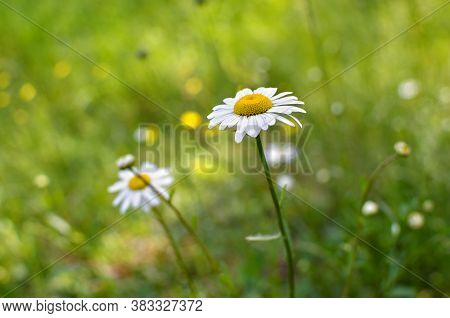 Young Daisies Bloom Among The Green Grass In Summer