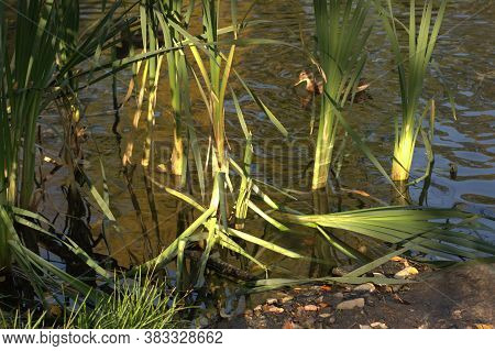 Duck In The Lake On A Sunny Day. Reeds On The Shore. Beautiful Sunlight On Water And Leaves In The A