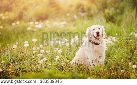 Active, Smile And Happy Purebred Labrador Retriever Dog Outdoors In Grass Park On Sunny Summer Day