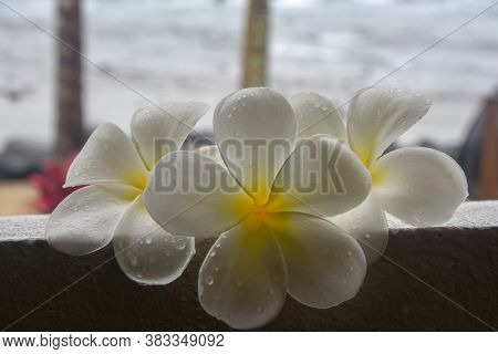 White Frangipani Flowers On Porch Ledge Overlooking The Ocean