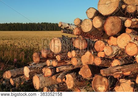 The Farmer Has Cut Down Some Wood And Piled It By The Fields. The Early Autumn Sunset Colors The Sce