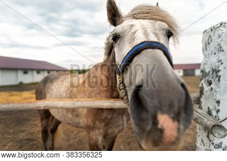 Close-up Funny Quirky Beautiful Sad Alone One Horse Portrait Grazing In Paddock With Rustic Old Vina