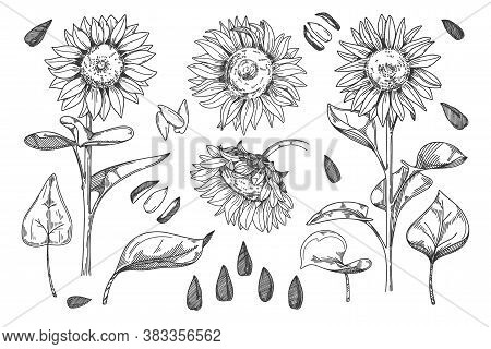 Sunflower Vector. Isolated Grain Seed, Stem, Blossom Sunflower Bud, Leaf And Flower Illustration. Sk