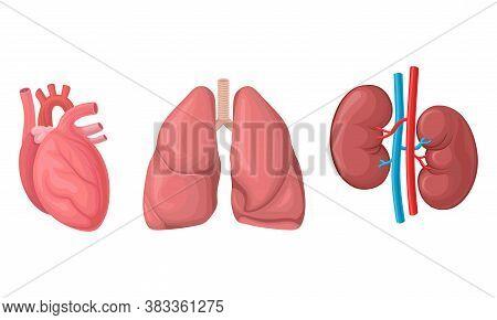 Heart And Lungs As Human Internal Body Part Vector Set