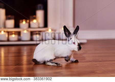 Beautiful Californian Rabbit Breed Poses Indoors With Warm Back Light