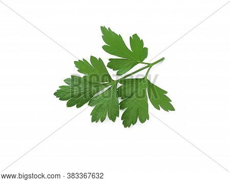 Parsley Leaf Isolated On White Background , Closeup, Tuft