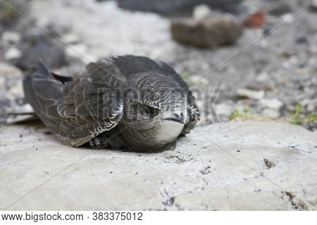 Swift Chick Fallen On The Ground Close-up
