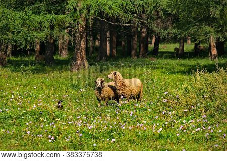 The High Pastures Of The Altai Mountains, Russia. Mountain Altai. Sheep Grazing Peacefully In The La