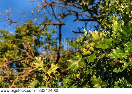 Oak Tree Branch With Green Ripening Acorns At Summer Day. Oak Branch With Acorns Against The Sky.