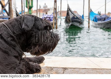 Side View Of The Big Black Schnauzer Lying In Front Of Gondolas In Venice (san Marco Square, Venice,