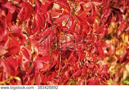 Autumn Color. Leaves Turn Red. Red Colored Foliage In Autumn. Plant With Red Leaves On Natural Backg